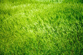 Grass background — Stock fotografie