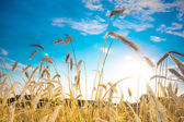 Ripe wheat spikes — Stock Photo