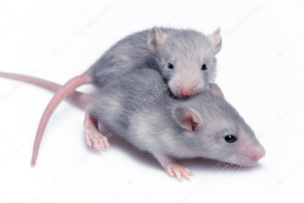 Cute baby rats - photo#22