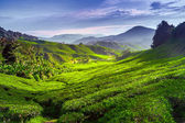 Tea plantation  — Foto Stock