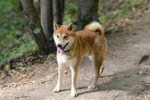 Shiba inu dog — Stock Photo