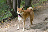 Shiba inu pes — Stock fotografie