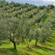 Olive trees — Stock Photo #18150383