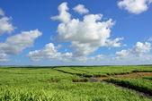 Sugarcane — Stock Photo