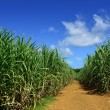 Stock Photo: Sugarcane