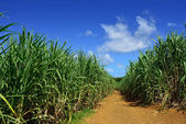 Sugarcane — Stock Photo