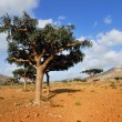 Socotra — Stock Photo #31107253