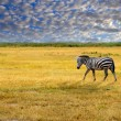 Stock Photo: Lone zebra