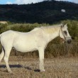 White horse in countryside — Stock Photo