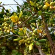 Stock Photo: Pittosporum tobira