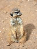 Meerkats (suricate) — Stockfoto