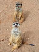 Meerkats (suricate) — Zdjęcie stockowe