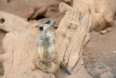 Meerkats (suricate) — Stock Photo
