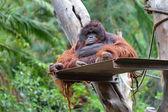 Oranghi — Foto Stock