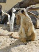 Meerkats (suricate) — Stock Photo