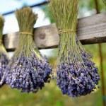 Lavender flowers  — Stock Photo #50471485