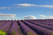 Lavender field — Stock Photo