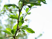 Young leaves of apple tree — Stock Photo