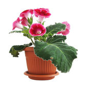 Pink Gloxinia — Stock Photo