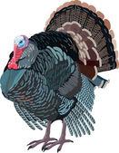 Turkey bird drawn — Stock Vector
