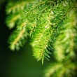 Branch of fir-tree — Foto de Stock