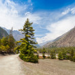 Pine forest in Annapurna trek — ストック写真