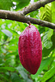Cocoa tree with pods — Stok fotoğraf