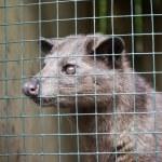 Asian Palm Civet — Stock Photo