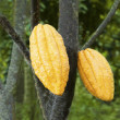 Cacao fruits  — Stock Photo