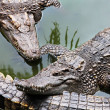 Big crocodiles — Stock Photo