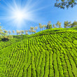 Tea plantation - Stockfoto
