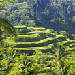 Stock Photo: Beauty rice terrace