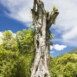 Banyan stump — Stock Photo