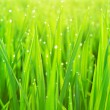 Foto de Stock  : Green grass with dew