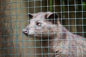 Asian Palm Civet — Stock Photo