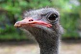 Emu close up — Stock Photo