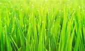 Yeşil çimen çiy ile — Stok fotoğraf