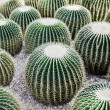 Golden Barrel Cactus — Stock Photo