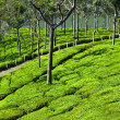 Tea plantation — Stock Photo #31303469
