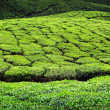 tea plantation in munnar — Stock Photo