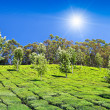 Tea plantation — Stock Photo #31304057