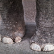 Stock Photo: Elephant legs