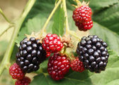 Blackberry bush — Stock Photo