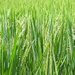 Stock Photo: Rice plants