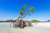 Mangrove tree — Stockfoto