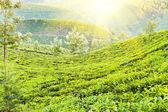 Plantação de chá — Fotografia Stock