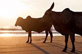 Big bulls  — Stock Photo