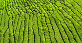 Tea plantation as a background — Stock Photo