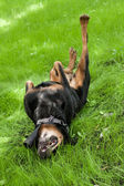 The dog of breed a Rottweiler goes for a drive on a grass on a s — Stock Photo