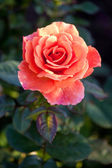 Beautiful shrub roses in the garden — Stock Photo
